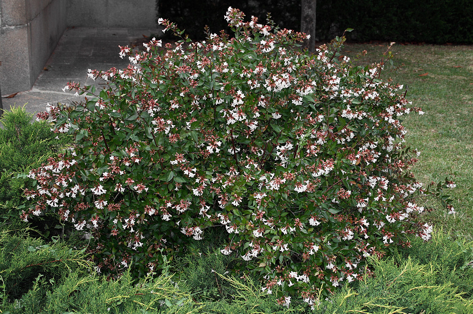 Appearance of the shrub in full bloom