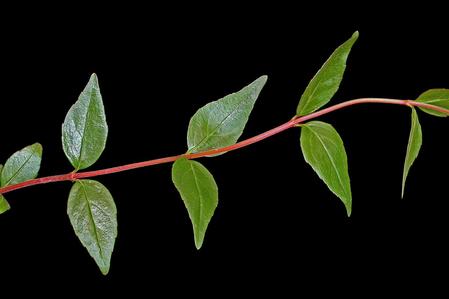 Reddish young branch with ovate leaves