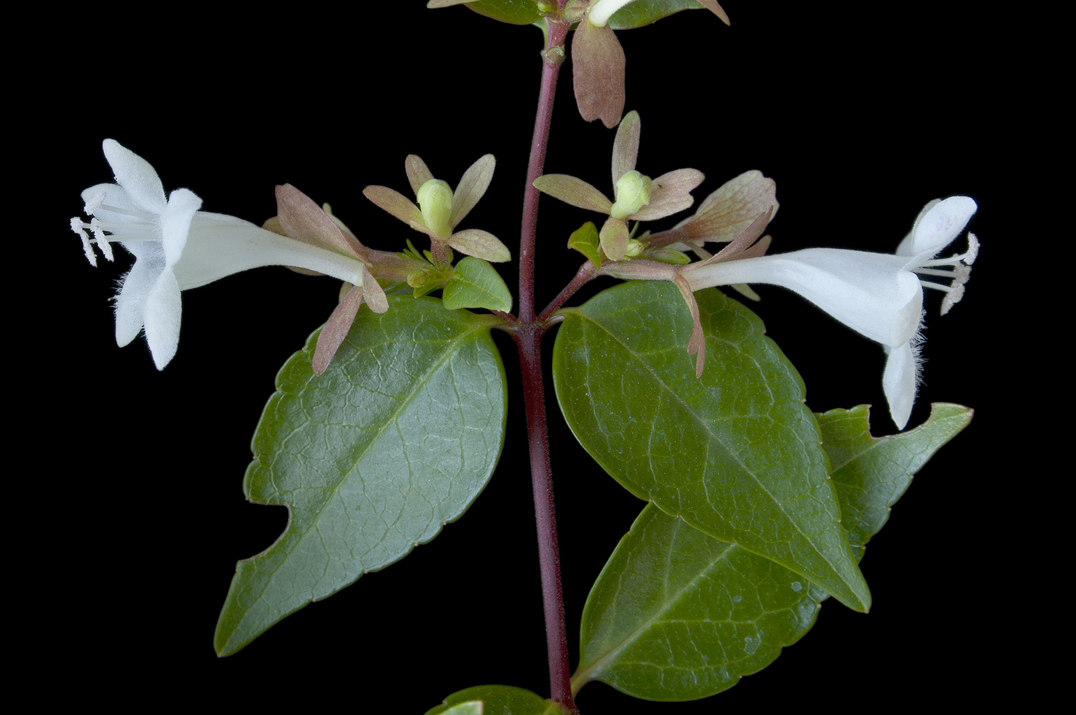 Branch with 2 flowers with a white infundibular corolla and a calyx  with 4 pink-brownish divergent sepals