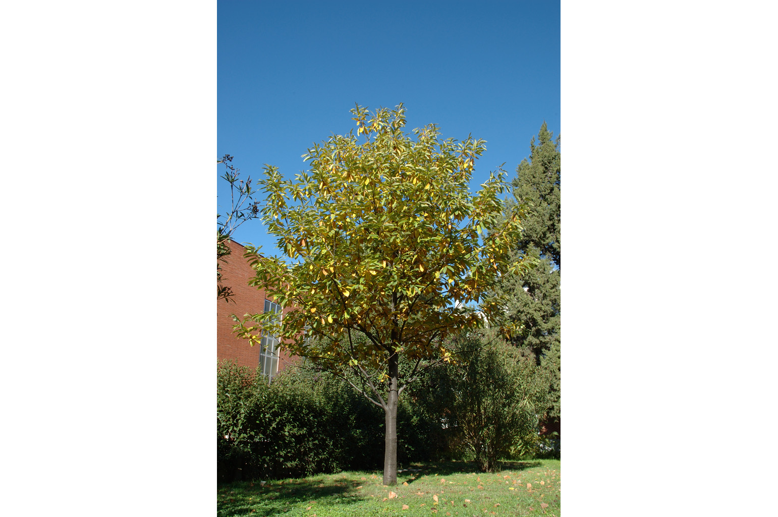Appearance of a young chestnut tree at the beginning of autumn