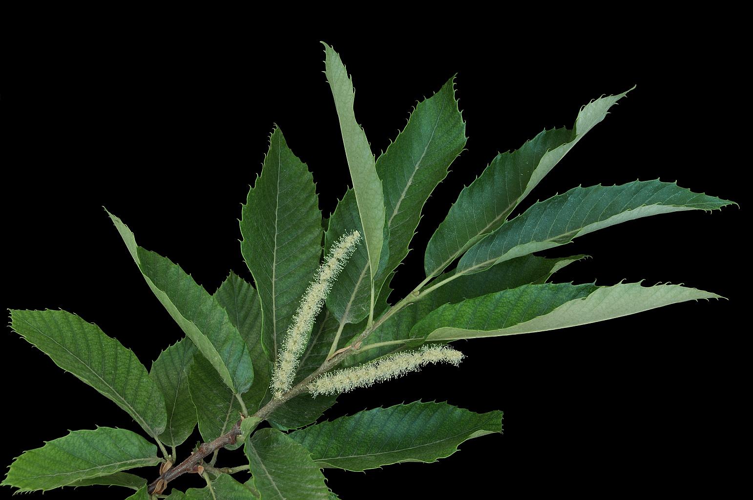 Rama con hojas alternas, simples, con los nervios laterales casi paralelos