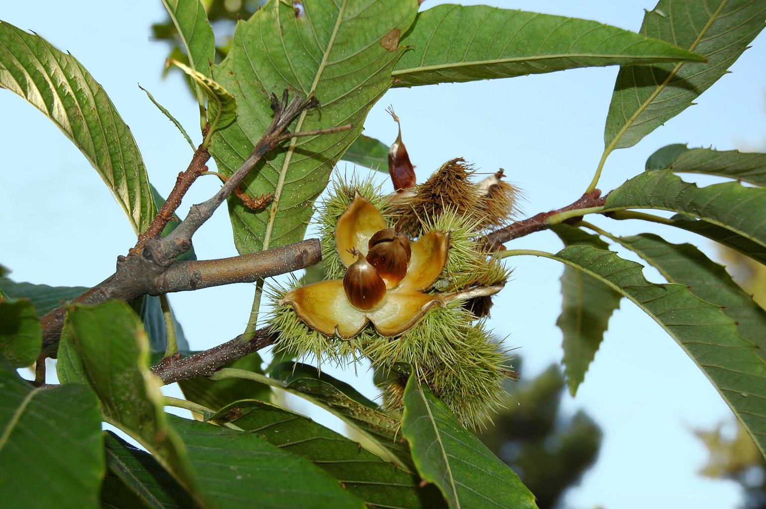 Rama con un erizo abierto y 3 frutos (castañas) en su interior
