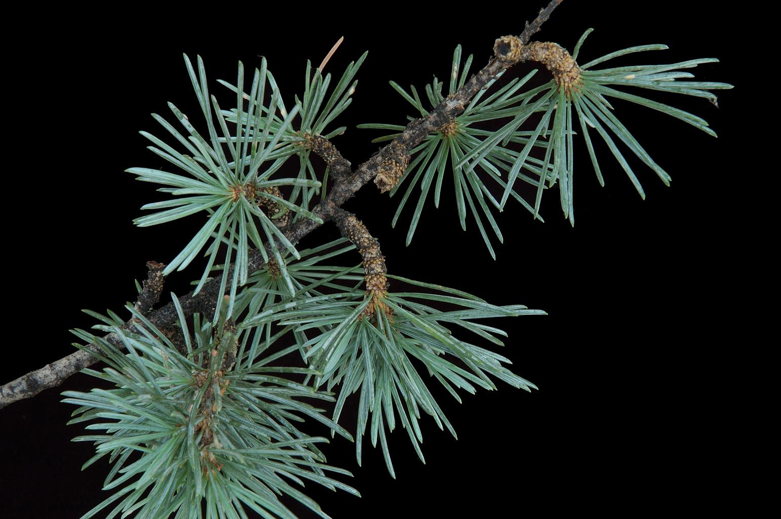 Rama con hojas aciculares de 2 cm long. agrupadas en ramas cortas (braquiblastos)