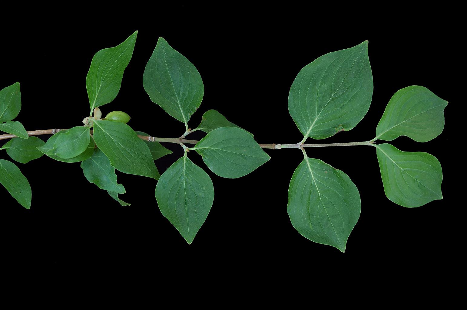 Rama con hojas de nervios laterales muy marcados y arqueados