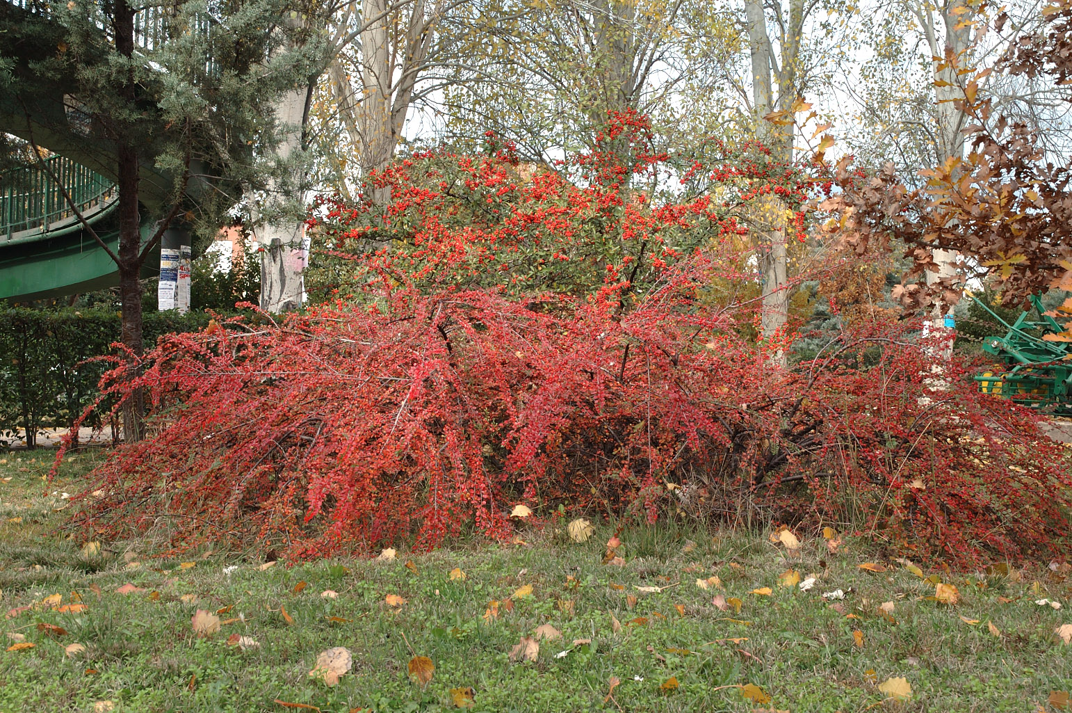 Group of <span class=cursiva>Cotoneaster horizontalis</span> (in front, with ± horizontal branches) and <span class=cursiva>Pyracantha crenatoserrata</span> in autumn