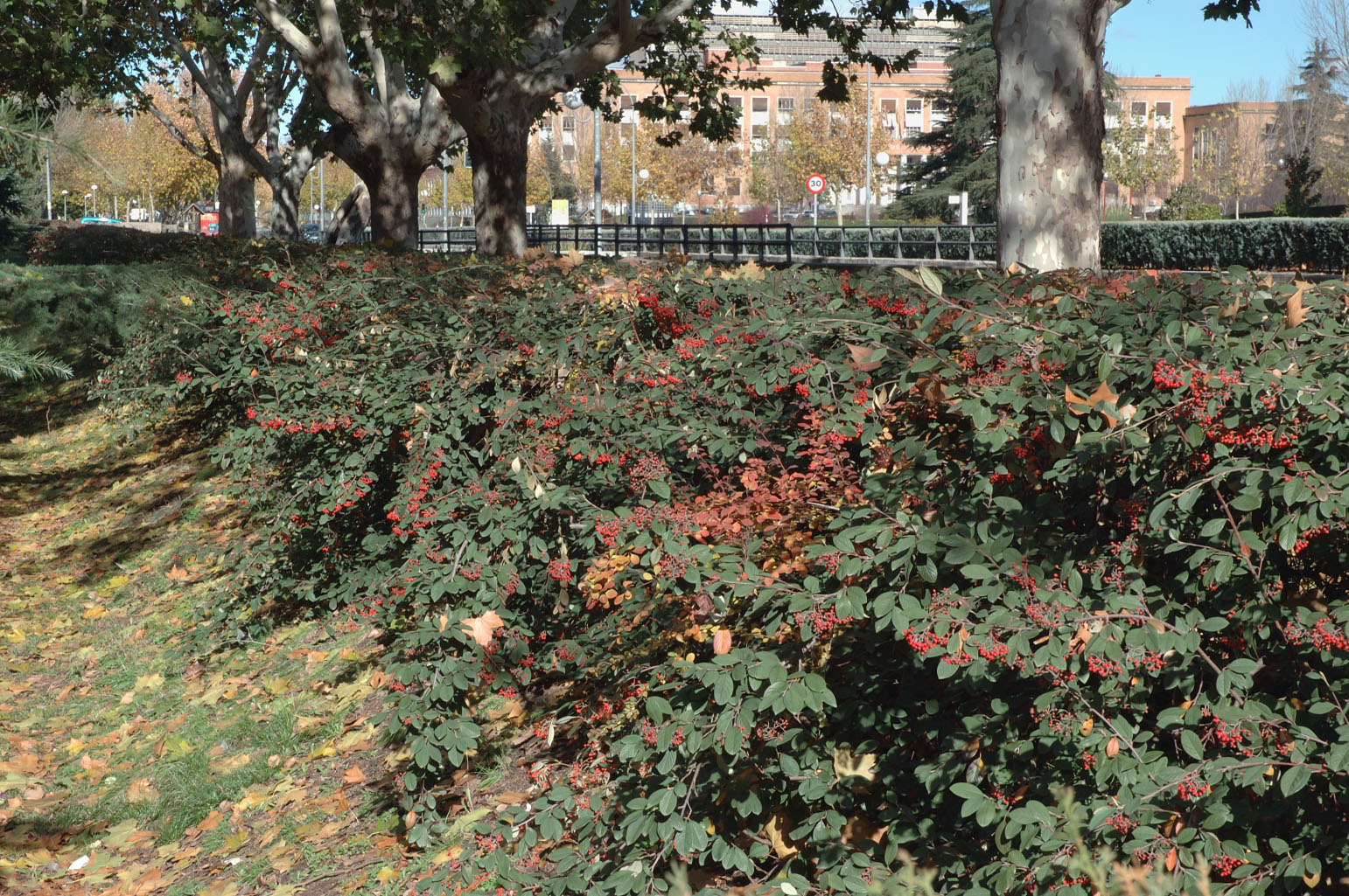 Appearance of a hedge in autumn