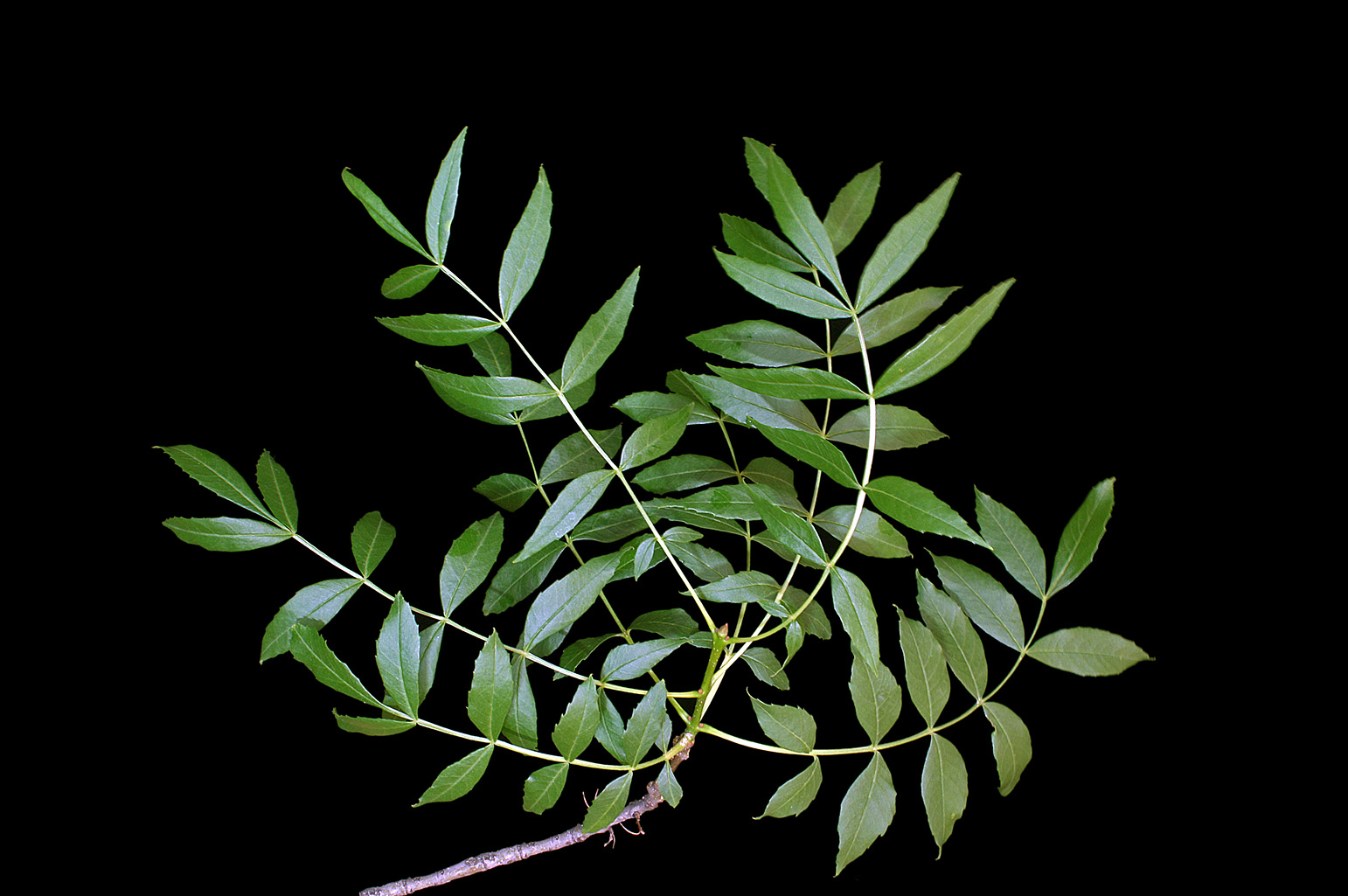 Branch with opposite imparipinnate leaves, each of which has 11 lanceolate leaflets with serrate margins