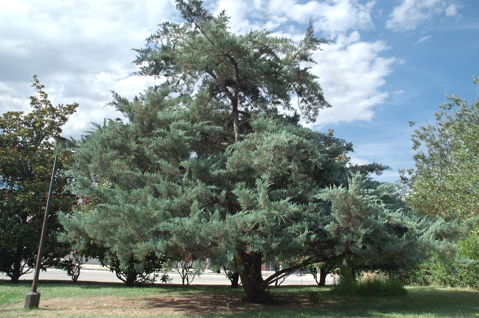 Broad pyramidal shape of the tree all year round