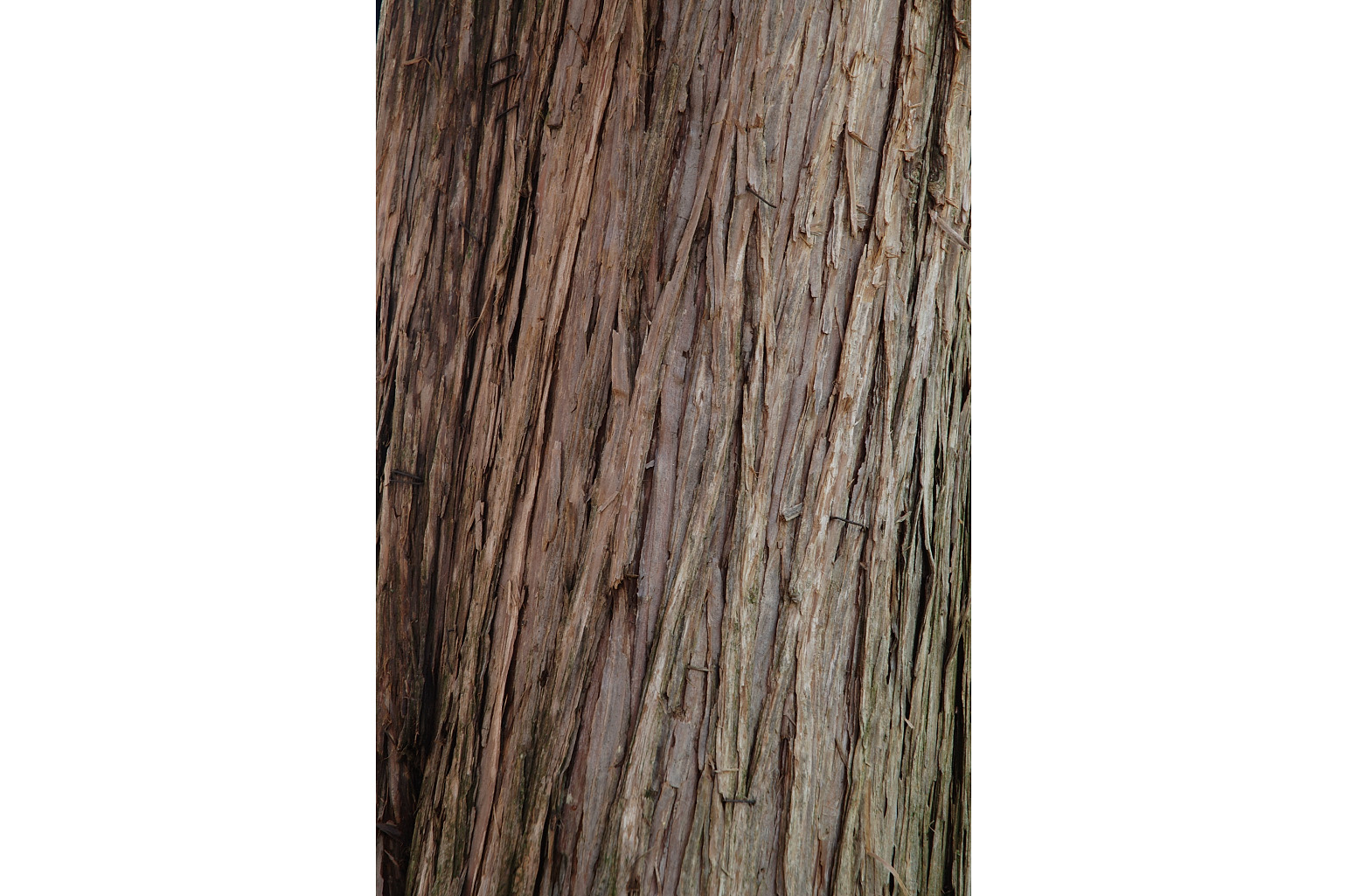 Fibrous bark of the trunk, flaking in vertical strips