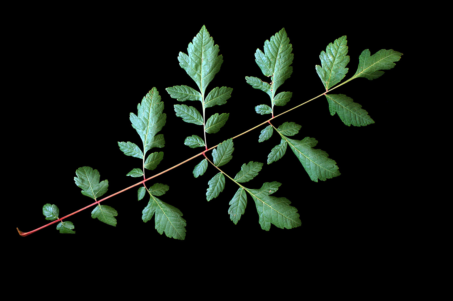 Pinnate leaf 30 cm long with irregularly shaped to pinnatifid lobed leaflets
