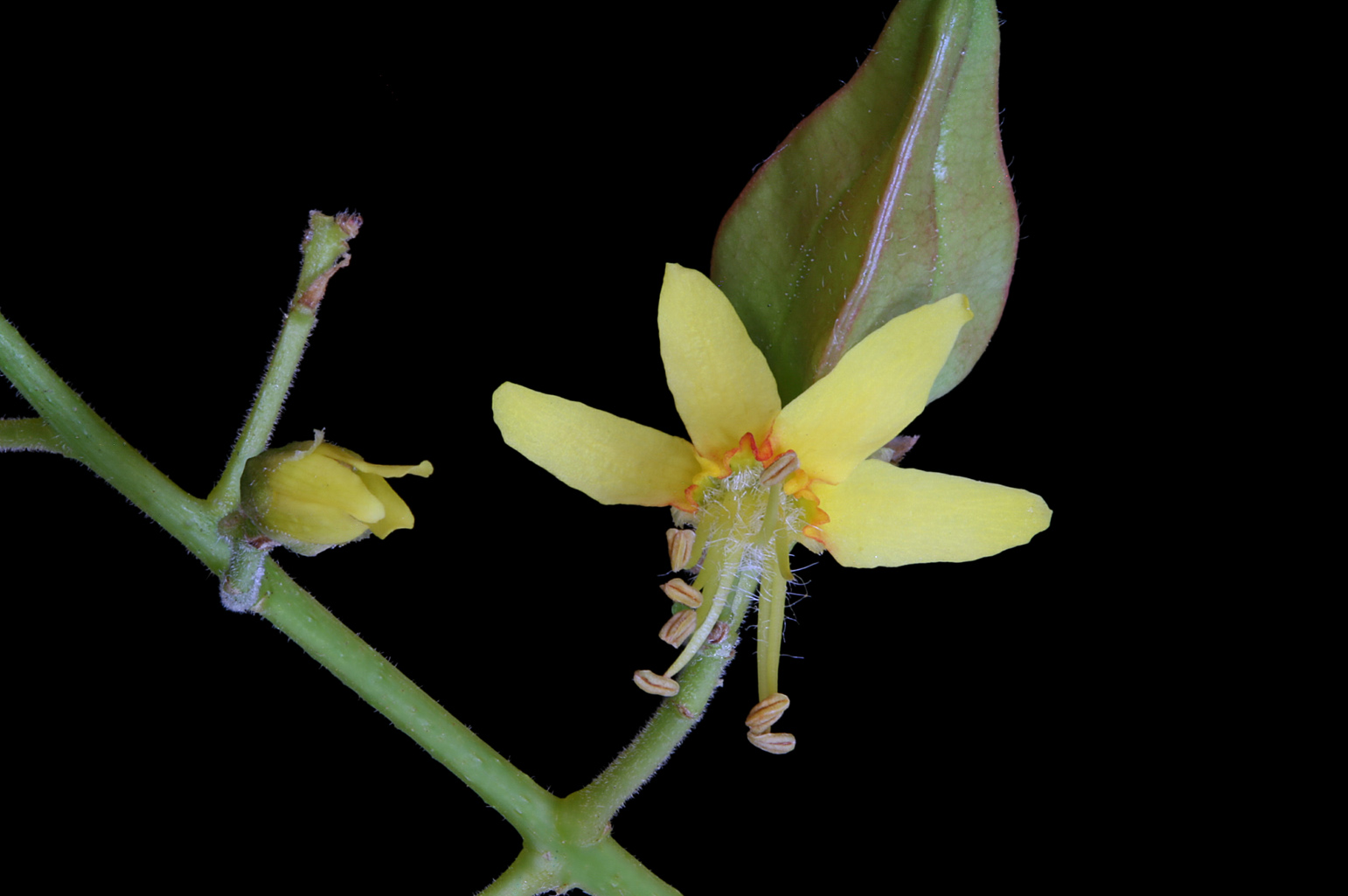 Detailed view of an inflorescence with two flower buds, a flower in anthesis and a young fruit