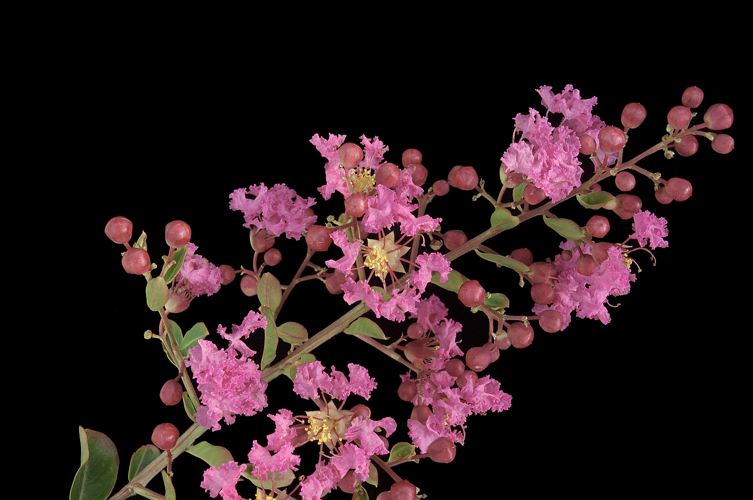 Showy panicle 15 cm long; the pink petals have a long and slender claw and a limb with crinkled margins