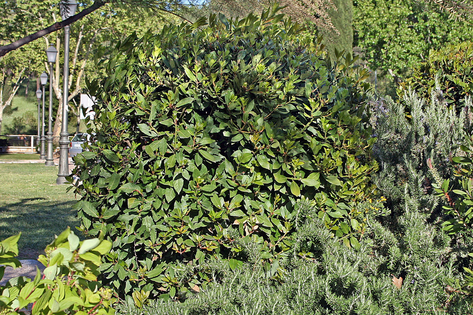 Appearance of the small tree at any time of the year; the rounded shape is due to pruning