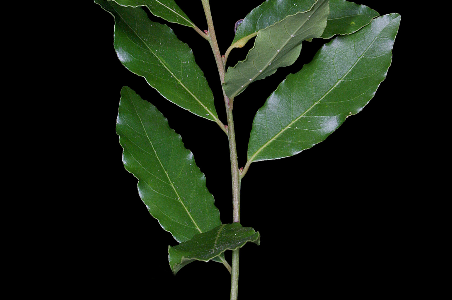 Branch with elliptic, leathery, glossy leaves on the upper side, with entire and somewhat undulate margins; they release a very pleasant, aromatic smell when crushed