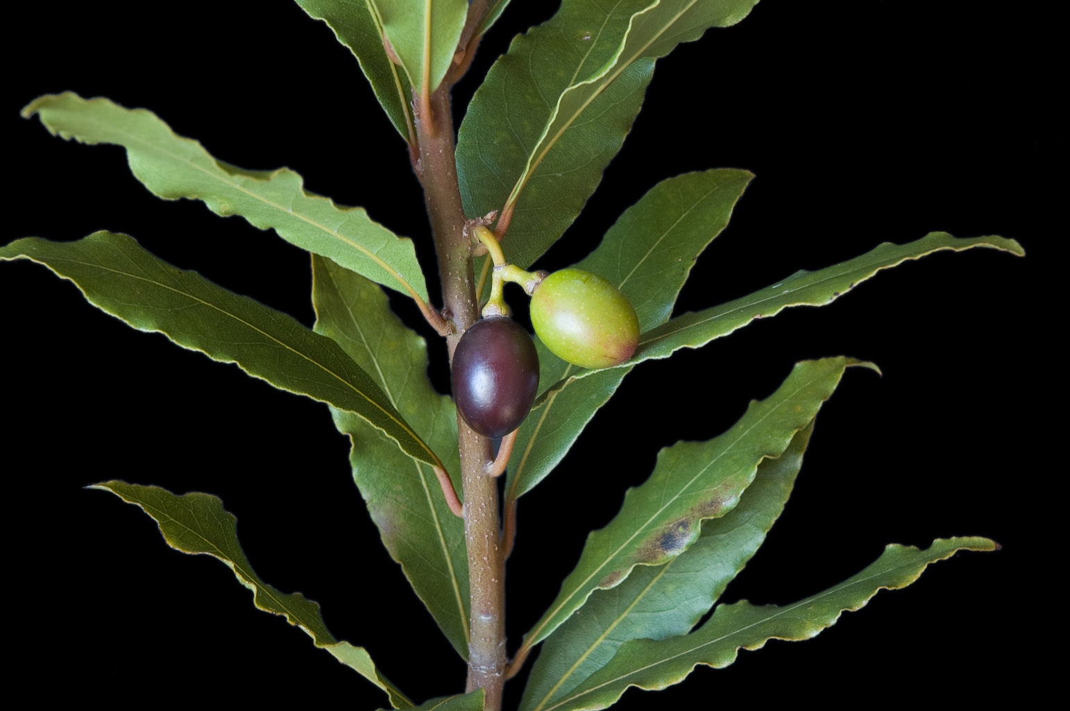 Branch with 2 olive-like drupes; the one on the left, black with purplish reflections, is almost mature