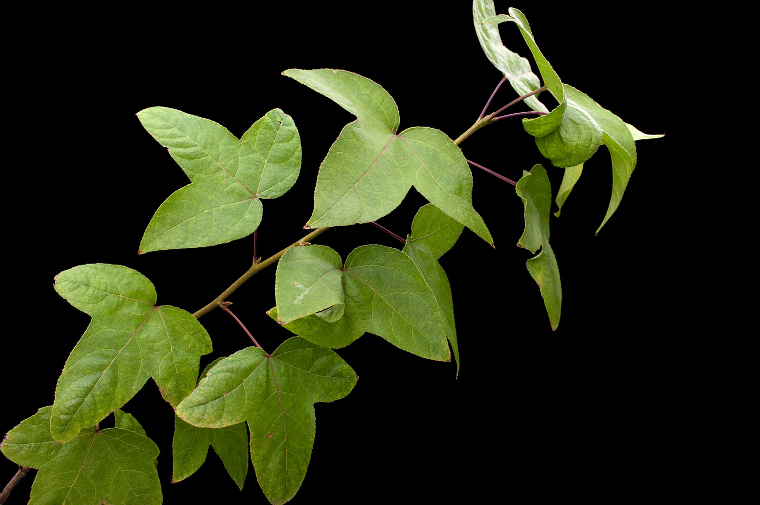 Branch with alternate, palmately lobed leaves with 3 triangular-ovate lobes