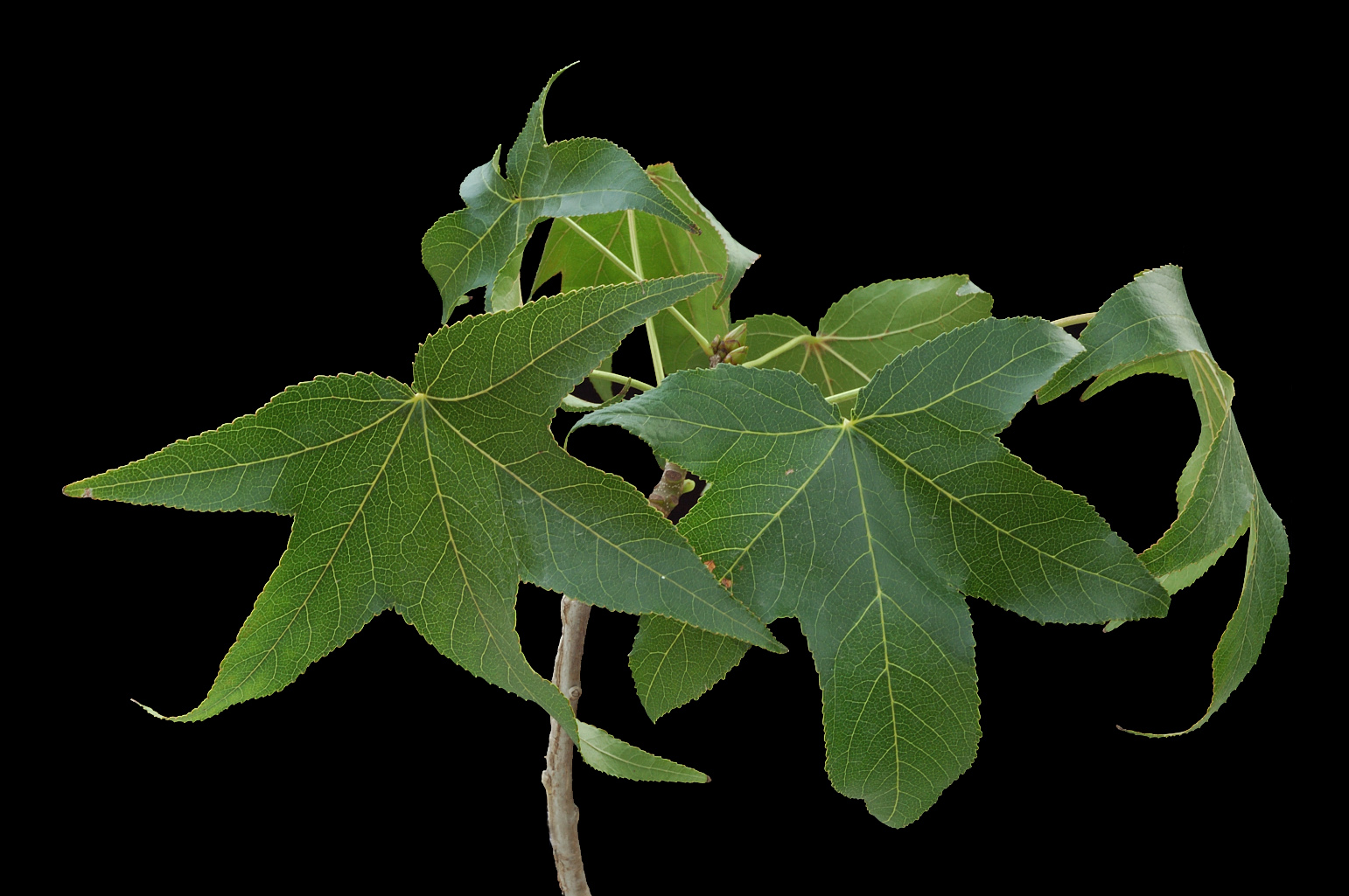 Branch with alternate leaves that tend to be arranged in two opposite rows; leaves are palmately 5-lobed