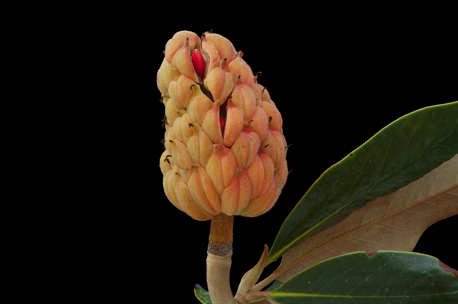 Cone-shaped follicetum; two fruitlets are starting to open and reveal one red seed each; the scars left by each stamen are visible below