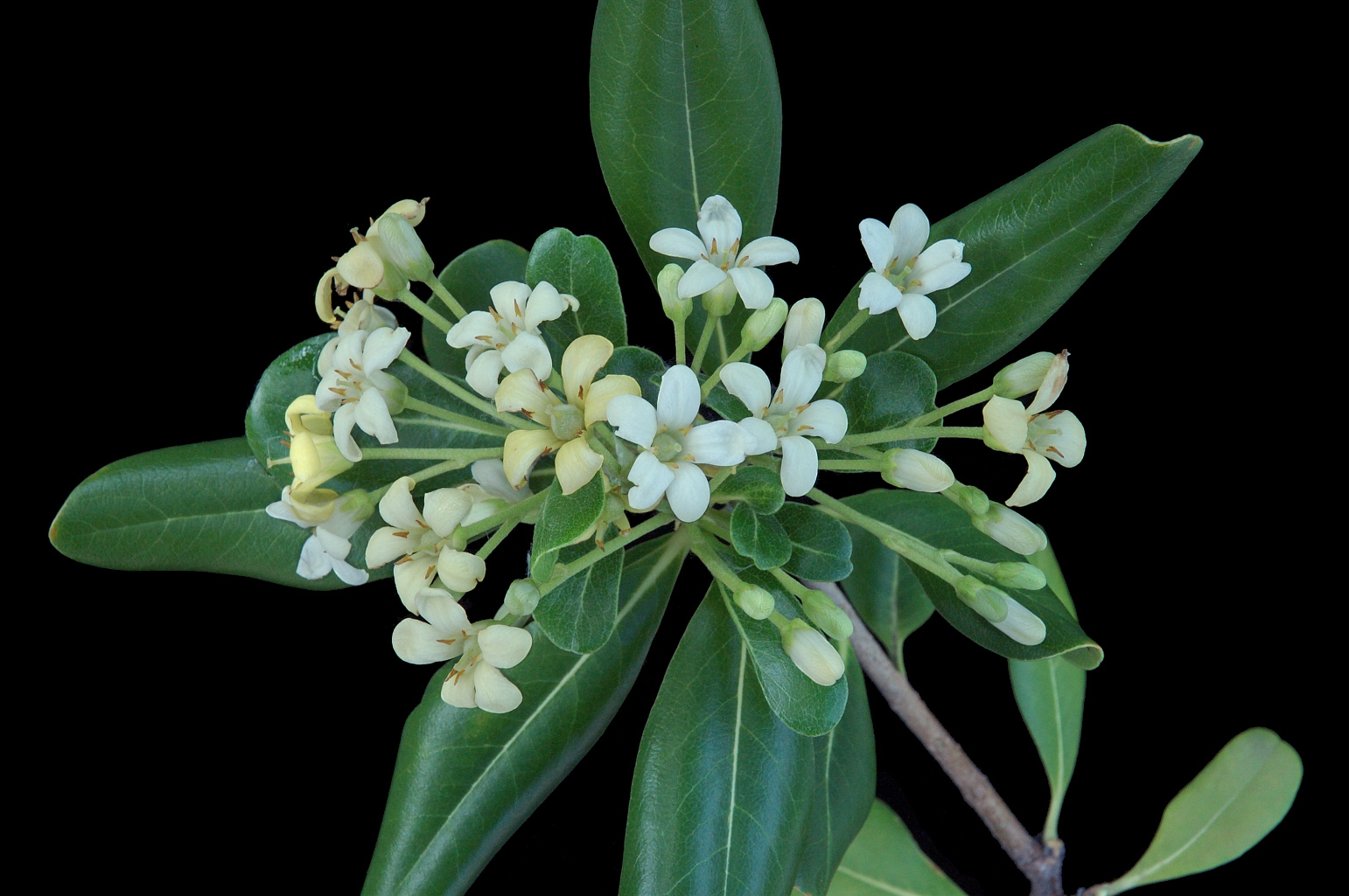 Branch with flowers arranged in a corymb; petals become yellowish as they wither