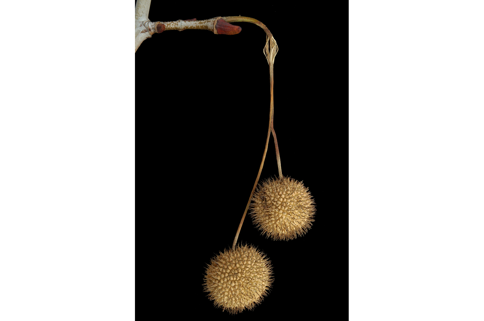 Two hanging globose infructescences of club-shaped achenes
