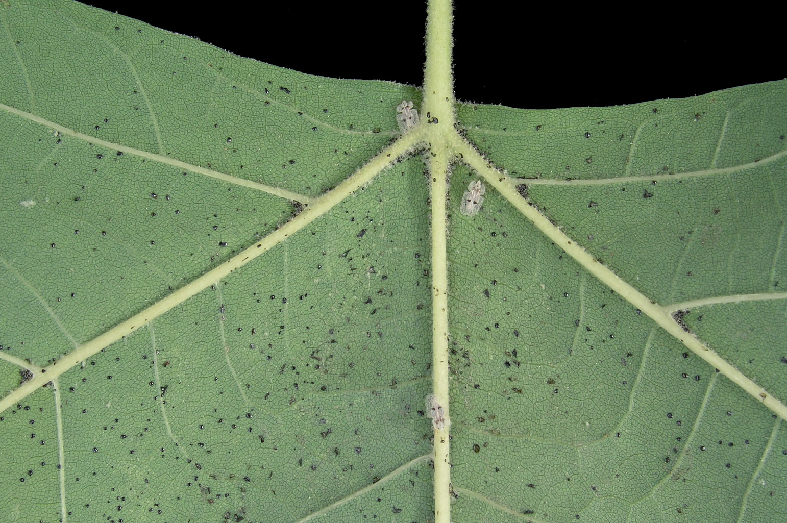 Detailed view of the abaxial side of a leaf with adult specimens and eggs of <span class=cursiva>Corythucha ciliata</span> (sycamore lace bug)