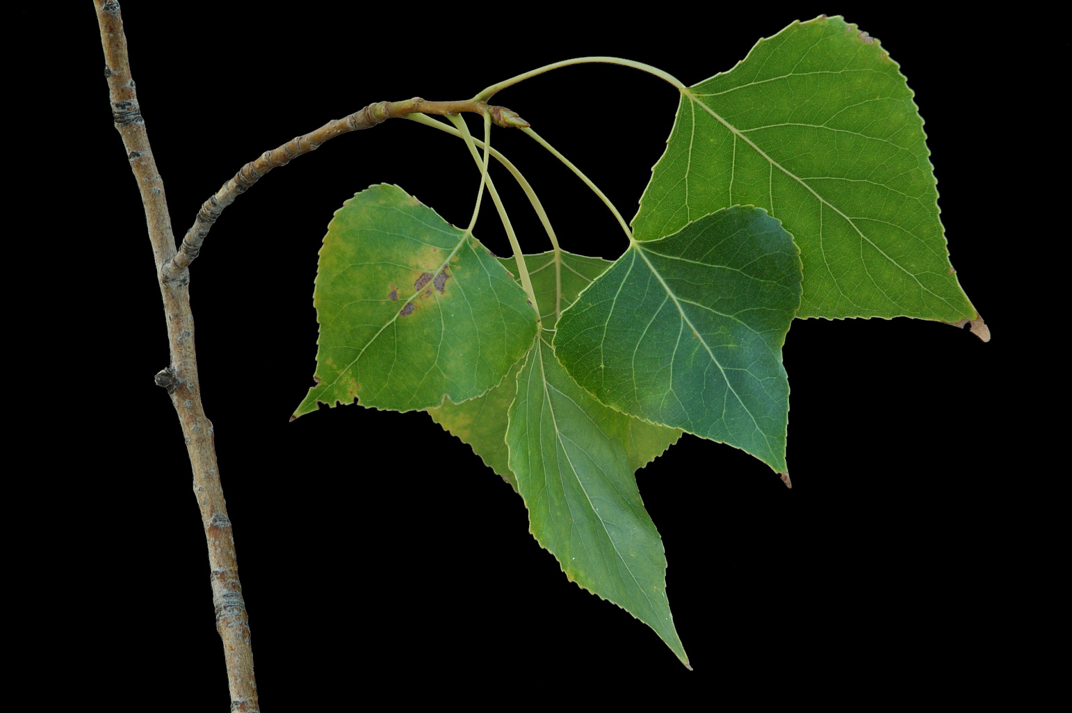 Branch with broadly ovate-deltate leaves with a truncate base and translucent margins; the petiole is long and flattened
