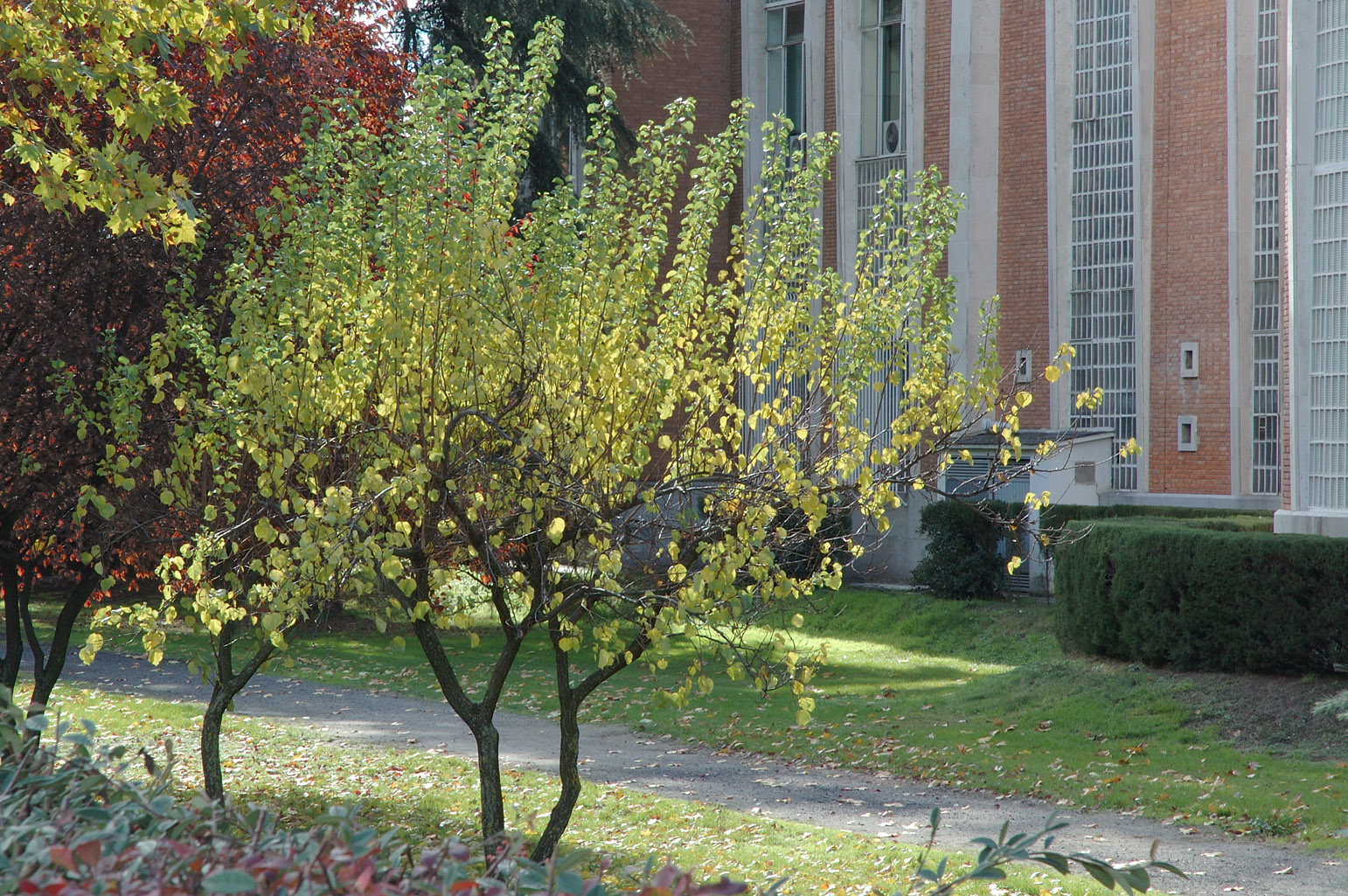 Appearance of two apricot trees in autumn