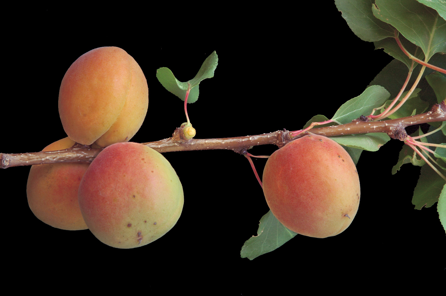 Branch with 4 mature velvety drupes (apricots); one of them shows the well-marked groove along its side