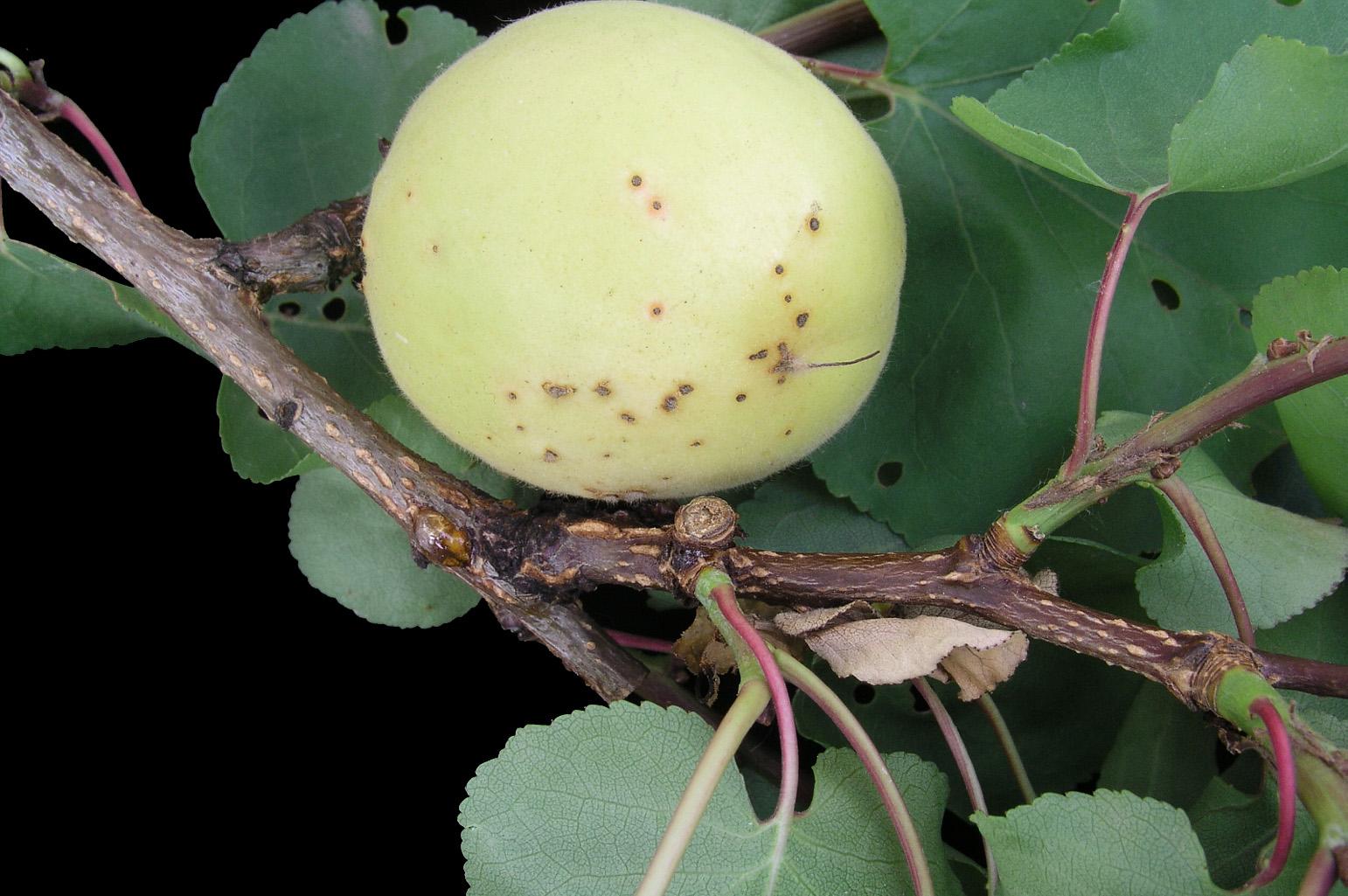 Fruto con manchitas (síntoma del ataque por <span class=cursiva>Stigmina carpophila</span> = <span class=cursiva>Clasterosporium carpophilum</span>)