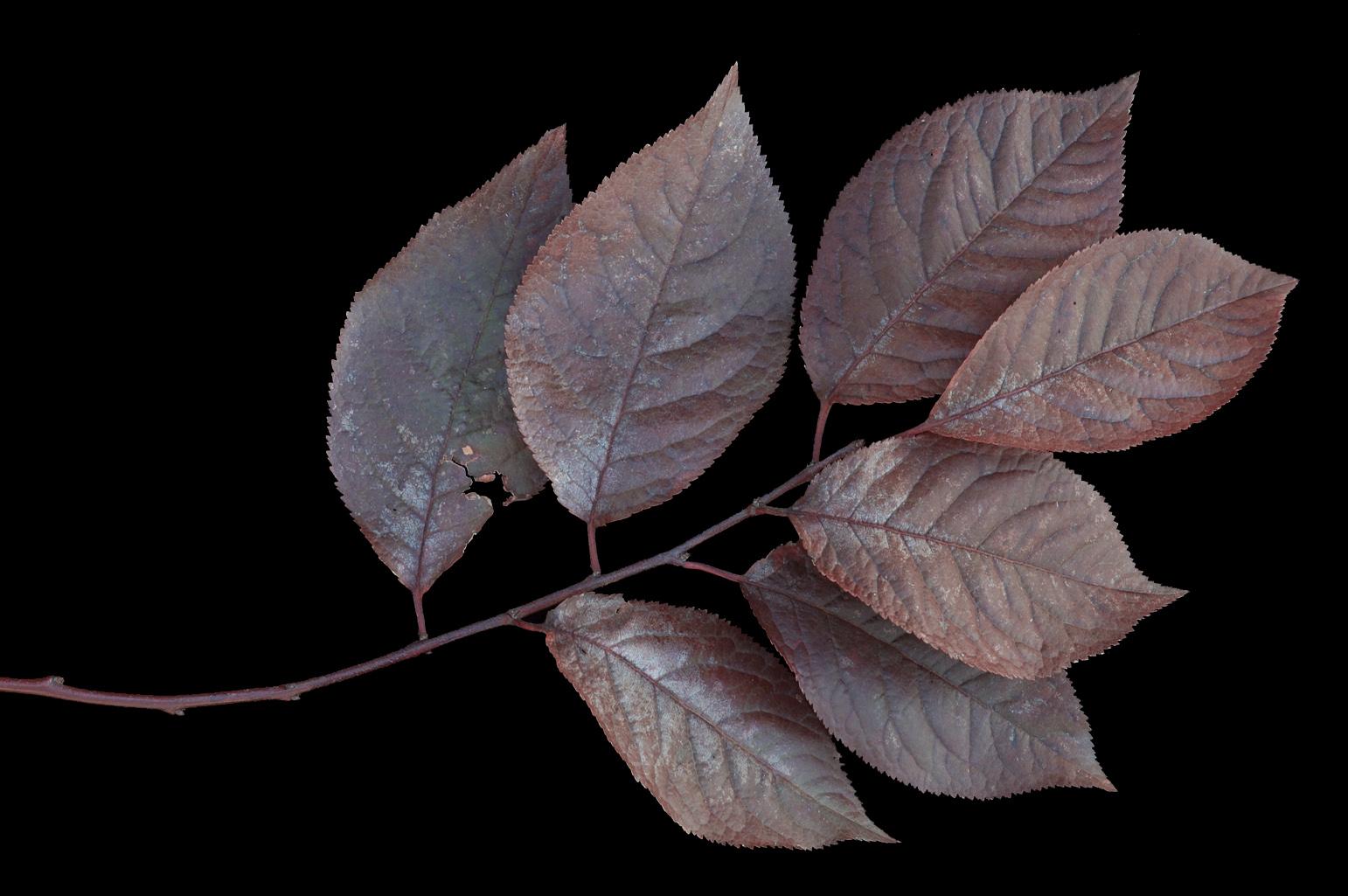 Rama con hojas de 4,5 cm long. y color rojo vinoso, más oscuras al llegar el otoño