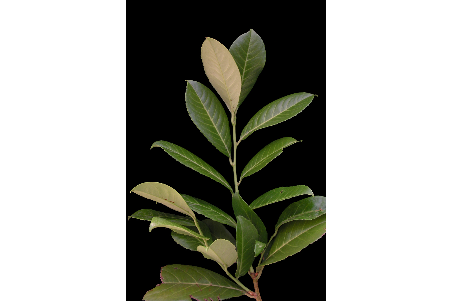 Branch with 10-14 cm-long leaves that are leathery and glossy above