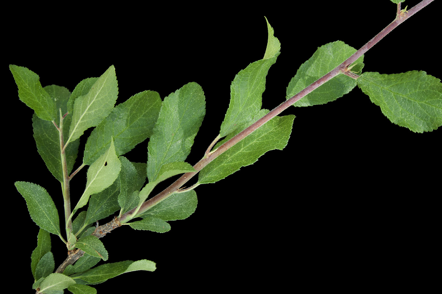 Branch with elliptic or obovate leaves with finely serrate margins, some of which still have stipules; the branchlet on the left is still green but will turn into a hard, sharp thorn when it becomes lignified