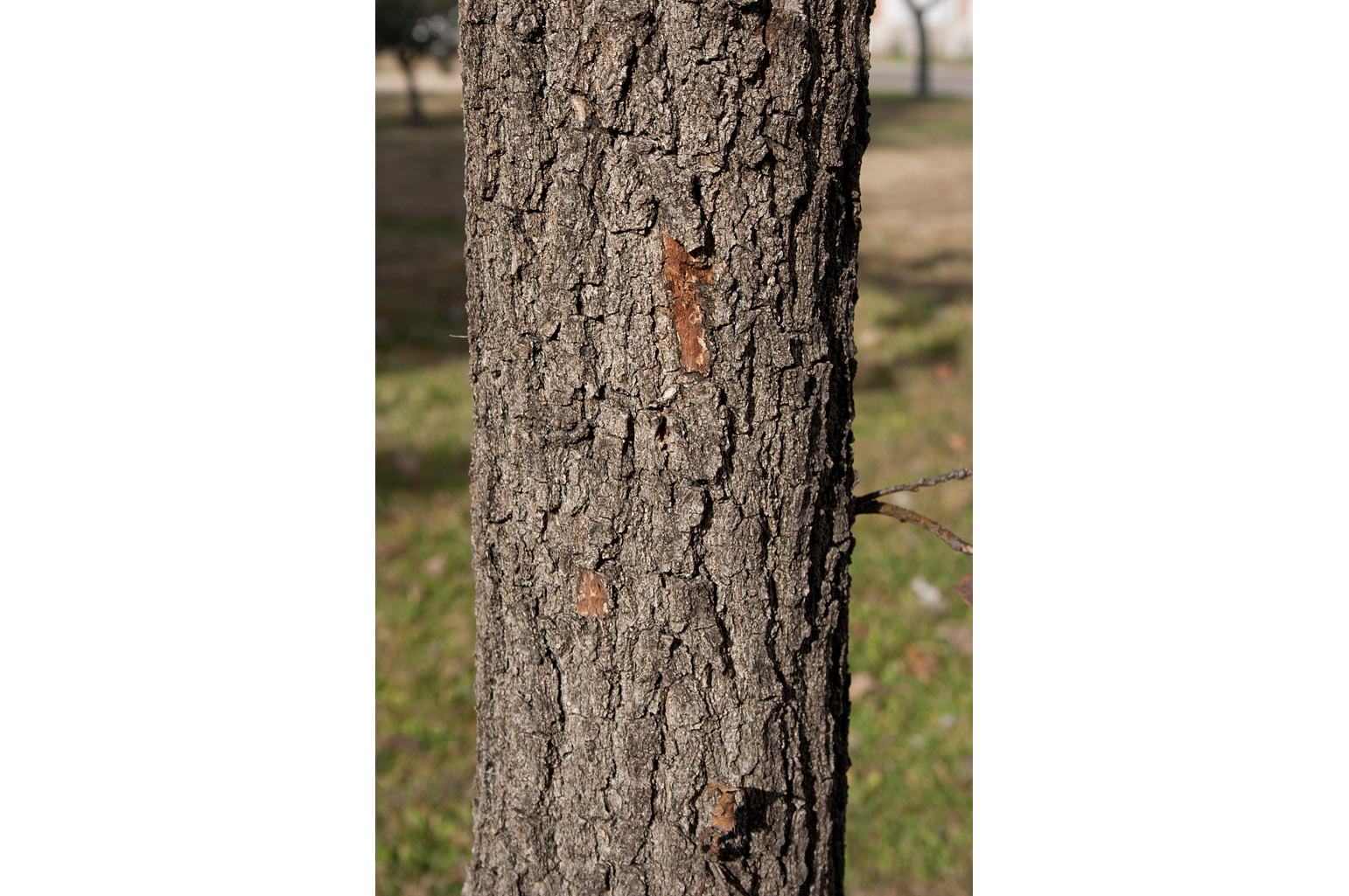 Bark rugous and deeply fissured