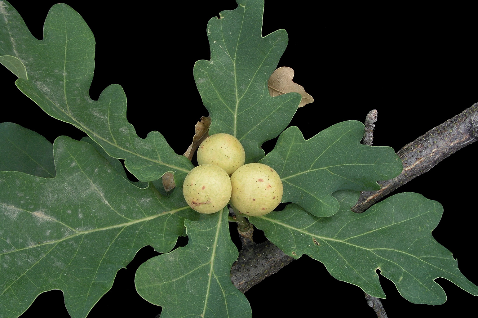 Branch with 3 galls caused by the wasp <span class=cursiva>Andricus kollari</span>