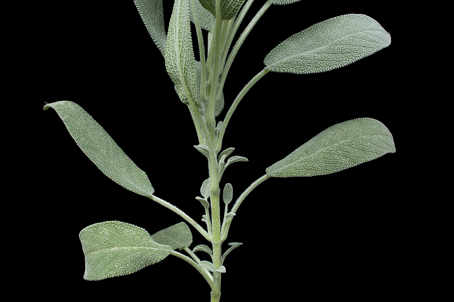 Square branch with simple, opposite, decussate leaves