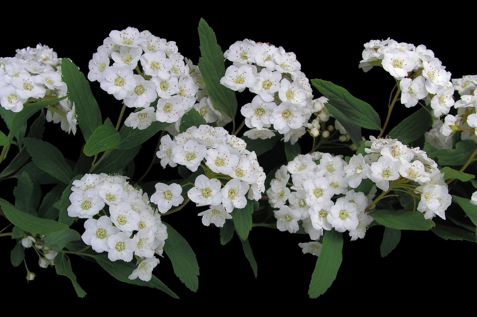 Rama con pequeñas flores reunidas en cimas corimbiformes que nacen en el extremo de ramitas laterales hojosas; pétalos más largos que los estambres