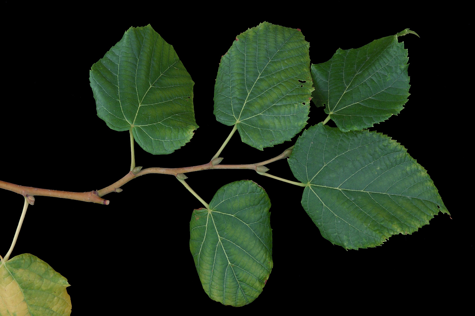 Branch with broadly ovate leaves with an asymmetrical cordate base and a short acuminate apex