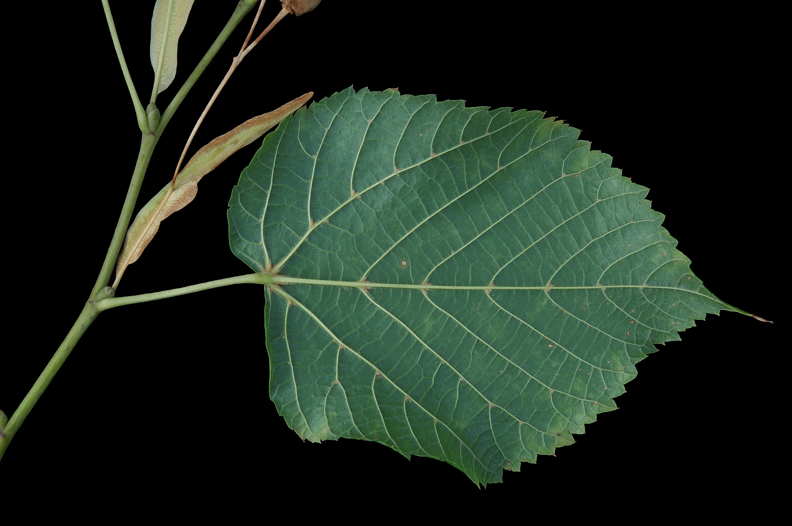 Abaxial side of a leaf with tufts of reddish hairs in the vein axils