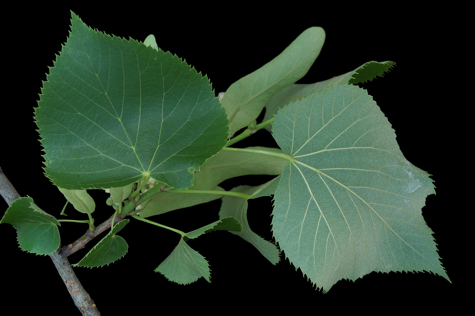 Branch with leaves that are green above and ± silvery below, broadly ovate, with an asymmetrical cordate base and a short acuminate apex
