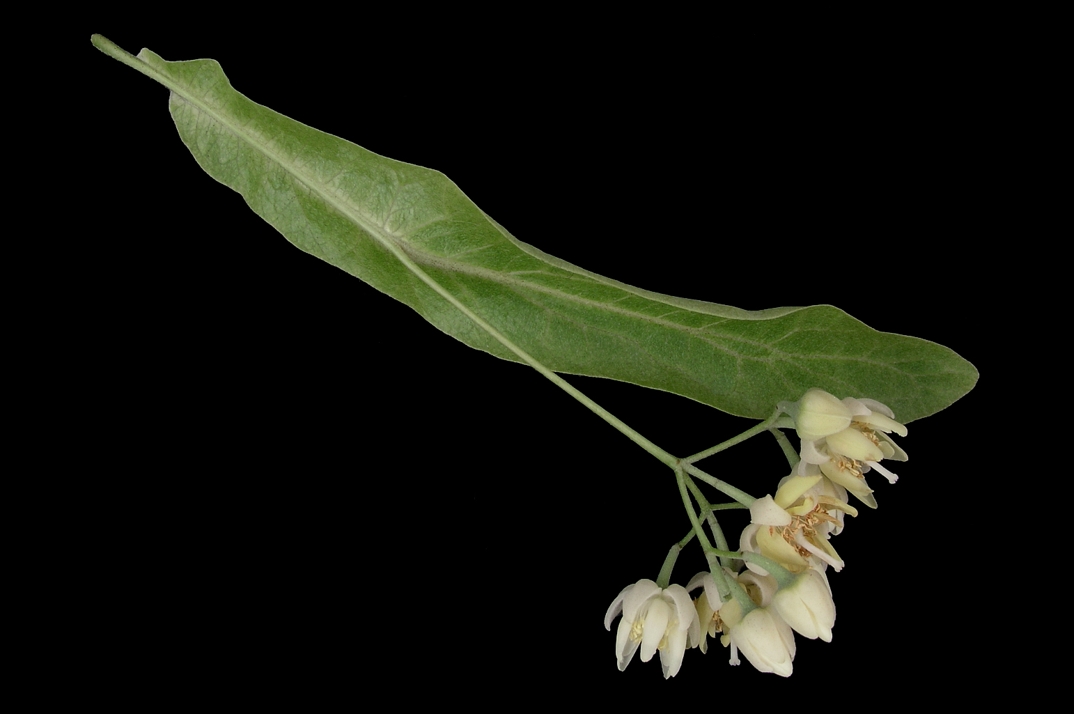 Pendulous cyme with a long peduncle partly fused to the lower half of a long bract