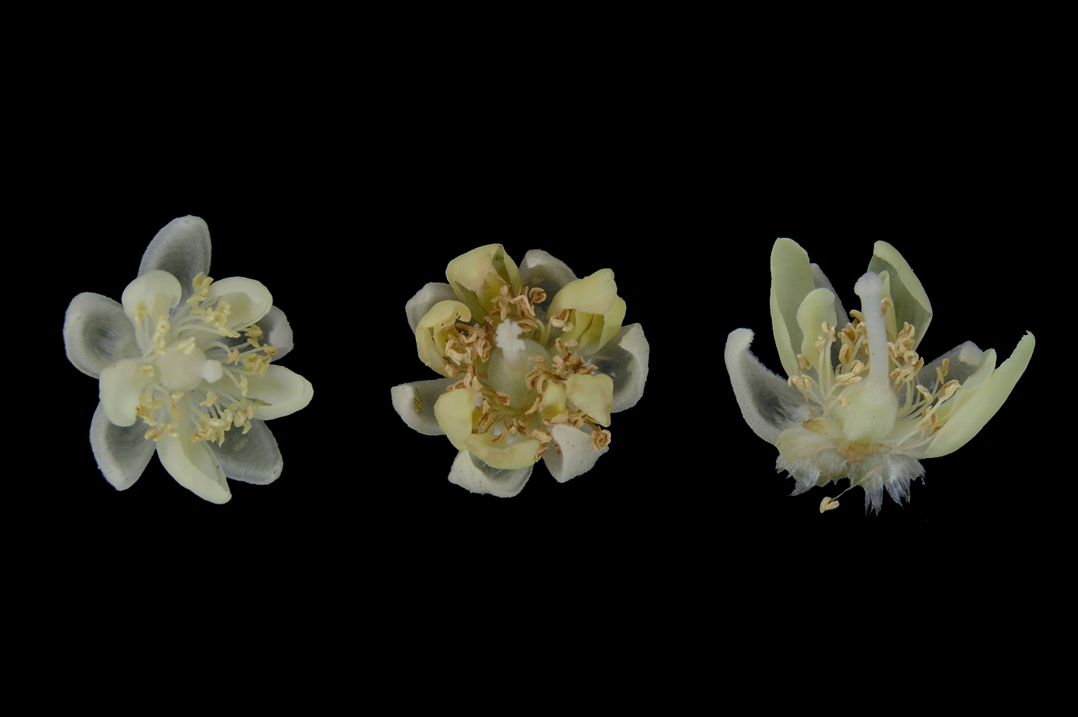 Three flowers 0.5 cm in diam.; the one on the right clearly shows the petaloid staminodes
