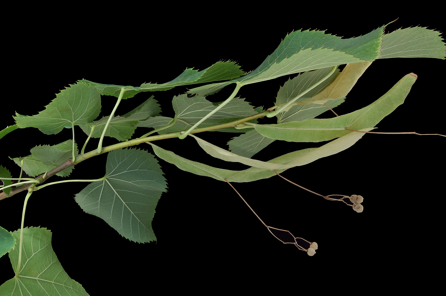 Branch (lateral view) with fruits (nutlets) with pedicels and marked ribs; the peduncle of the fruits is partially fused to the lower half of a long bract
