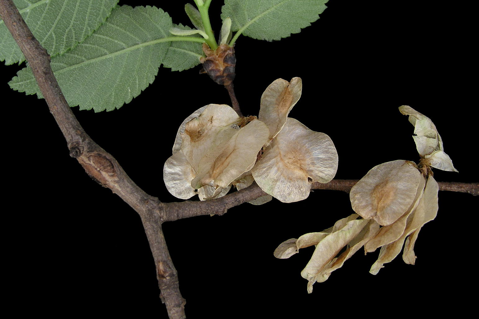 Branch with several samaras just about to be dispersed by the wind; the seed is at the centre of the samara