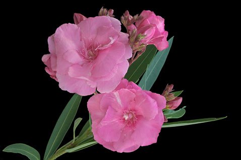 Nerium oleander L.: Branch with showy flowers arranged in corymbiform cymes; at the centre of each flower, the deeply-lobed corolla has a fringe around the central corolla tube