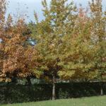 Alineación de tres robles jóvenes en otoño