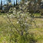 Aspecto de un endrino en plena floración